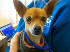 Animal A98650  Tan Chihuahua, male  Found on 11/26 at Tasman/ Lawrence 94089