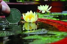Dwarf or miniature/pigmy water lilies work well in container water gardens since they will not crowd-out other plants. Also a great idea for patio tables and indoors in a sunny window. www.ContainerWaterGardens.net/water-lilies-for-containers