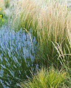 lavandula x intermedia 'Provence' Sesleria autumnalis and calamagrostis x acutiflora 'karl foerster'