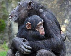 Chimp Love http://ift.tt/2f5neSw