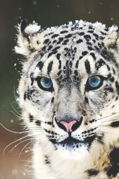 snow leopard beautiful blue eyes stunning animal cat More