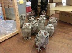 LOOK IT IS A TINY HERD OF OWLS