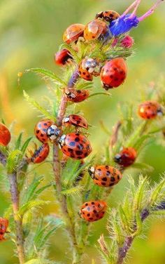 # ladybug #  Wonder if I can purchase a bag or two (if they are still sold) of lady bugs to set free... used to have them at Lowe's.