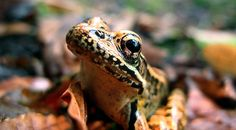 Leopard Frog (Rana pipiens)  davehuth.com/blog