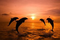 Gorgeous sunset and great shot of bottlenose dolphins