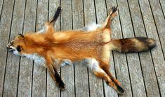 fox pelt - Google Search