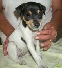 Terrier brasileiro