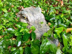 Alligator Statue Amongst Leaves Free Stock Photos, Objects, Leaves, Statue, Animals, Animales, Animaux, Animal, Animais