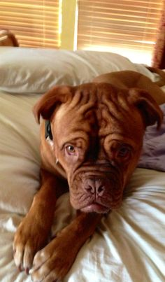 Bree #Dogue #De #Bordeaux / #Bordeaux #Mastiff / #French #Mastiff / #Bordeauxdog / #dog