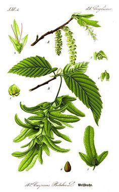 Illustration Carpinus betulus = European or common hornbeam