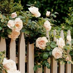 """New Dawn"" climbing roses- want to plant some this spring"