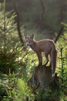 Red Fox by Detlef Hinrichs