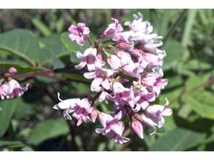 Apocynum androsaemifolium (Spreading dogbane) - nectar for bees & butterflies