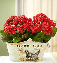 Kalanchoe - great houseplant.  I usually put mine outdoors in summer then have them as houseplants in winter. Usually buy mine in grocery store off season when they are at least 50% off!!!!