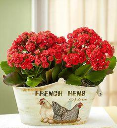 Kalanchoe - great houseplant