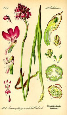 Flora von Deutschland Österreich und der Schweiz (1885) http://caliban.mpipz.mpg.de/thome/band1/tafel_145.html