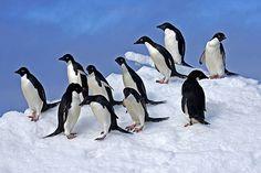 A gathering of Adélie Penguins