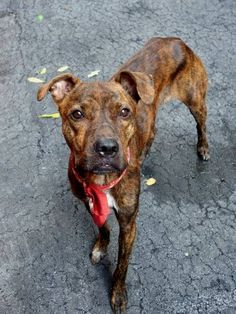 Manhattan Center RIZZO - A1014114 MALE, BR BRINDLE / WHITE, PIT BULL MIX, 9 mos STRAY - ONHOLDHERE, HOLD FOR ID Reason STRAY Intake condition UNH&UNTREA Intake Date 09/15/2014, From NY 11226, DueOut Date 09/22/2014, Main Thread: https://www.facebook.com/photo.php?fbid=873433236002890