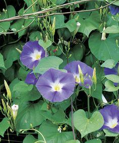Morning Glories and Moonflowers  Combine these climbing vines for blossoms both morning and evening
