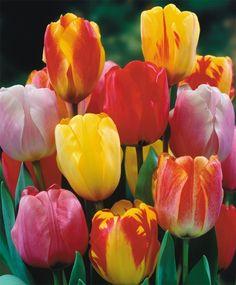 The Giant Darwin Hybrid Tulip Mixture - Giant Darwin Hybrid Tulips - Tulips - Fall 2015 Flower Bulbs