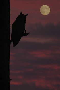 (Symbol Light & Darkness)- owl at dusk, creatures of the night and our unconscious fears can arise at dusk and peer out at us like amber eyes in the darkness. Beautiful Moon, Beautiful Birds, Beautiful Pictures, Long Eared Owl, Shoot The Moon, Good Night Moon, Night Owl, Night Time, Tier Fotos