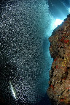 Silversides-wall of fish