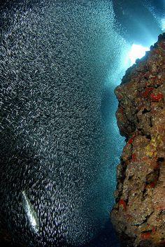 Silversides, a wall of fish