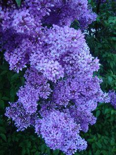 Photo of Common Lilac (Syringa vulgaris) uploaded by - My site Lilac Bushes, Lilac Flowers, Common Lilac, Trees To Plant, Syringa Vulgaris, Rock Garden Landscaping, Purple Flowers Garden, Plants, Lilac