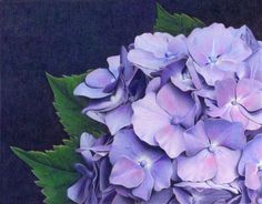Colored pencil hydrangea by Sheri Ruben