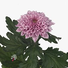 Chrysanthemum Blooms Pip are a pinky purple disbudded, single headed cut flower variety. tall & wholesaled in 10 stem wraps. May Flowers, Bridal Flowers, Amazing Flowers, Fresh Flowers, Pink Flowers, Hand Tied Bouquet, Florist Supplies, Flower Fashion, Flower Ideas