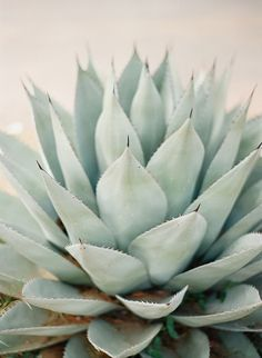 aloe is an easy keeper, perfect for those not so green finger gardeners! Agaves, Cactus Plante, Plant Aesthetic, Cactus Y Suculentas, Cacti And Succulents, Event Styling, Planting Flowers, Planting Succulents, Greenery