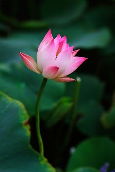 Nature photo by Nan Chen Lotus Flower Art, Lotus Bud, Macro Flower, Lotus Flower Images, Lilies Drawing, Wonderful Picture, Water Lilies, Flower Power, Beautiful Flowers