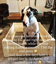Ryker the European Great Dane Puppy gonna be a huge dog Harlequin Great Danes, Dane Puppies, Huge Dogs, Great Dane Puppy, Animal Quotes, Funny Pictures, Pet Puppy, Pets, Animals