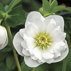 Fully double and bright white, these blooms are a rare and welcome treat among Helleborus collections! The result of 15 years of careful hand selecting.