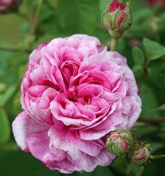 Belle Helene ~ Gallica Rose