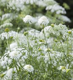 Clouds of white, airy flowers of ammi, studded with denser cushions of white scabious.