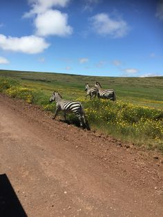 Wonderful Zebra Running inside this adorable land in Ngorongoro Crater  You can enjoy this through zaratours.com #Tanzania #Serengeti   Get your package now....book now   https://www.zaratours.com/component/actours/?task=show&aid=18054