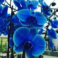 I've never seen #blue #Phalaenopsis #orchids in my life.  such a #mysterious and #fascinating #flowers !!! #keukenhof #lisse #netherlands #crazy #love by je_suis_aiko