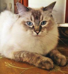 #ragdoll cat