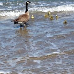 This week off-leash dogs killed two Canada Geese chicks at Crissy Field in San Francisco.  Find out how you can help change dog management rules at national parks:  http://www.goldengateaudubon.org/blog-posts/two-goslings-gone-in-the-jaws-of-unleashed-dogs/ Photo of Canada Goose family before dog attack by Mikiye Nakanishi