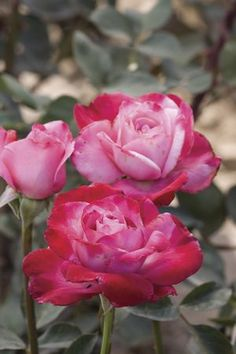 Paradise Found Rosa Hybrid Tea This is as close to the perfect Hybrid Tea ever hybridized by Star/Meilland Rose Company. It has everything, ...