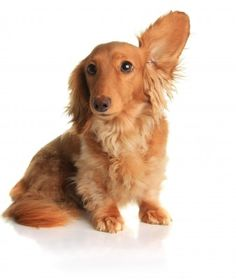 This article explains all you need to know about cat and dog ear mites. If you have a pet showing signs of ear irritation, it could be ear mites - but before you try to treat this yourself, find out why it is important to get a diagnosis from a vet first!