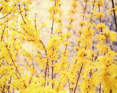 Yellow Forsythia Flower Botanical Nature by ShadetreePhotography, $30.00