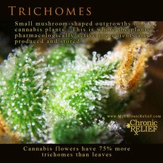 Trichomes: small mushroom-shaped outgrowths on cannabis plants.  This is where the plants' pharmacologically active ingredients are produced and stored.  Cannabis flowers have 75% more trichomes than leaves.
