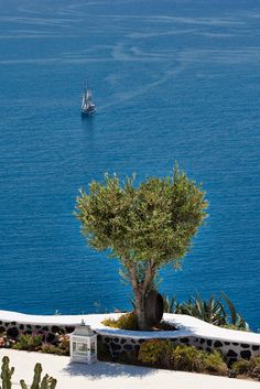 Olive tree by the sea, Santorini, Greece Santorini Luxury Hotels, Luxury Suites, Places Around The World, Around The Worlds, Beautiful World, Beautiful Places, Myconos, Olive Tree, Greece Travel