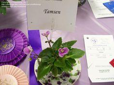 African Violet 'Tamsen' (Saintpaulia)