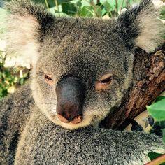Miss Caramello! I can't wait to see you all tomorrow. #marsupial #notabear #koala #cuteanimalsofinstagram #currumbinwildlifesanctuary #wildlife #wildlifephotography #wildlifesanctuary #zoo #wwf #wwf_australia #igdaily #ig_australia #blackjaguarwhitetiger #blackjaguarwhitetigerfoundation #koalakrusader #australia #australiannativeanimals by cute_animal_selfies http://ift.tt/1X9mXhV
