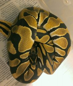 12 Best Orange Dream Ball Pythons Images Ball Python