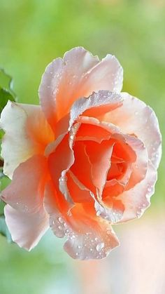 🌹Only roses and tulips. Beautiful Rose Flowers, Exotic Flowers, Amazing Flowers, Morning Rose, Macro Flower, Flower Delivery, Flower Power, Red Roses, Planting Flowers