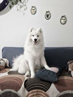 ❤️ Samoyed Dogs